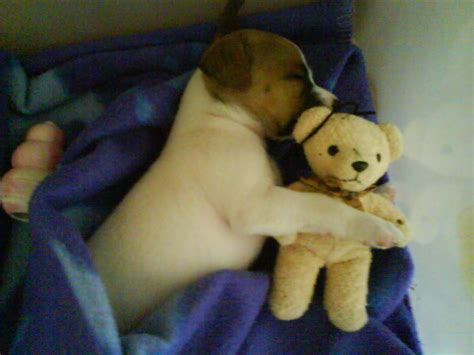teddy puppies puppy with teddy teddybear64 photo 22106076 fanpop