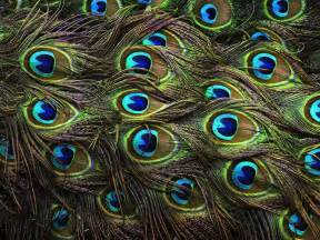 peacock color wallpapers of peacock feathers hd 2015 wallpaper cave