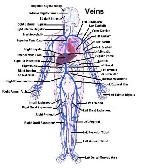 arteries and veins diagram anatomy organ pictures images collection veins and