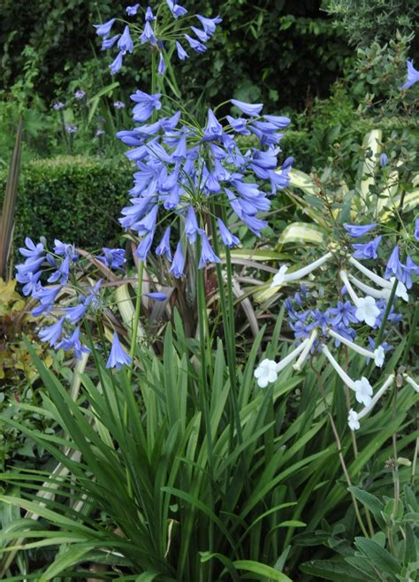 growing with plants agapanthus save the summer garden