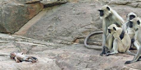 Gendongan Bayi Monyet kawanan monyet berduka saat bayi monyet mati teknologi