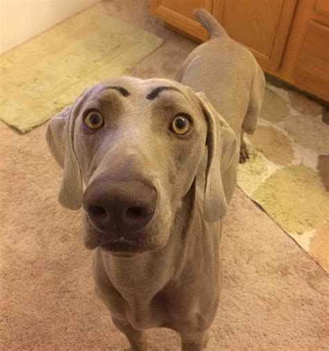 17 Reasons Why You Shouldn't Get A Weimaraner