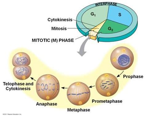 g1 phase diagram image gallery interphase mitosis and cytokinesis