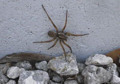 big spider on side of house angolan witch spider