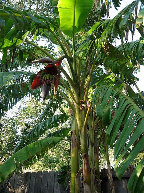 stauden pflanzen by baby bananas
