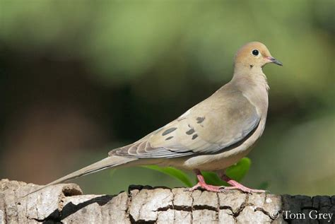 Morning Whistle Mpt A Green mourning dove