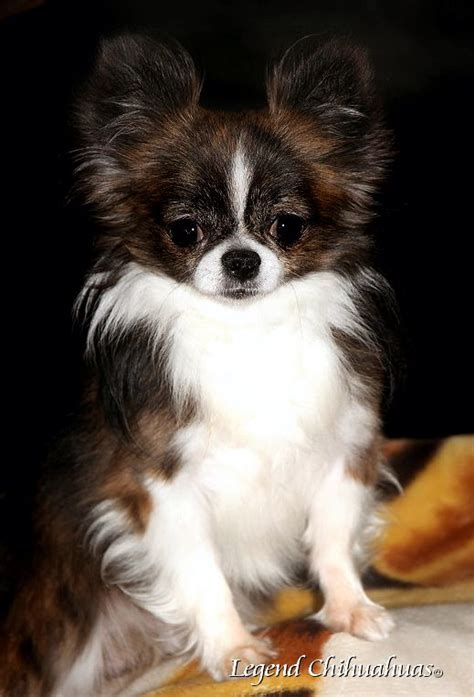 long hair chihuahua hair growth what to expect 100 best poodle chihuahua images on pinterest