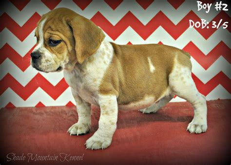 beabull puppies ready now beabull puppies 2 shade mountain kennel