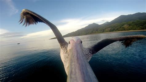 Photo Op Flying At by Gopro Pelican Learns To Fly