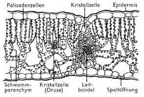 Beschriftung Querschnitt Laubblatt by Blatt Lexikon Der Biologie