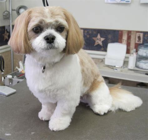 how to cut hair on a shihpoo 15 best pets images on pinterest shih tzus dogs and