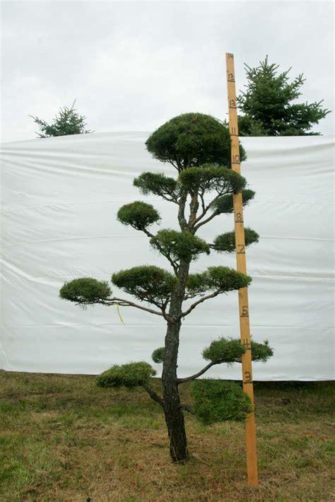 scotch pine topiary 187 scotch pine topiary tree 9 plants beautiful nursery