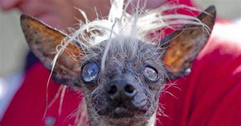 imagenes de animales feos animales estos son los perros m 225 s feos del mundo