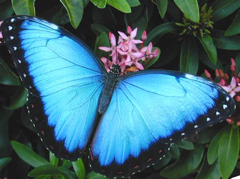 Butterfly Blue emerging from the chrysalis your butterfly oracle for