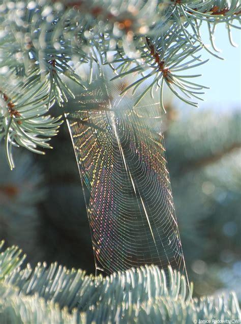 canadian spruce tree canadian wildlife federation spruce trees of canada