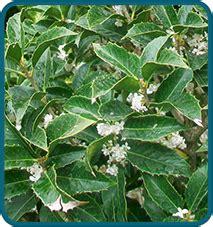 arbusto con fiori bianchi profumati vendita piante da siepe vivai lanari paolo