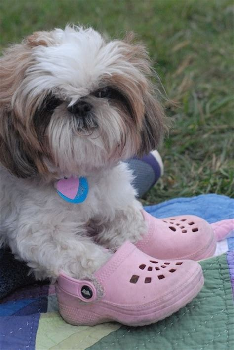 shih tzu slippers 88 best images about lhasa apso dogs on puppys