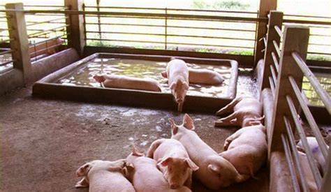 Backyard Piggery Business by What The Experts Say Swine Production In The Philippines 1 2 Pig333 Pig To Pork Community