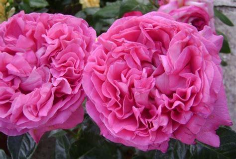 Mawar Moss 33 jenis bunga mawar beserta cara budidayanya lengkap