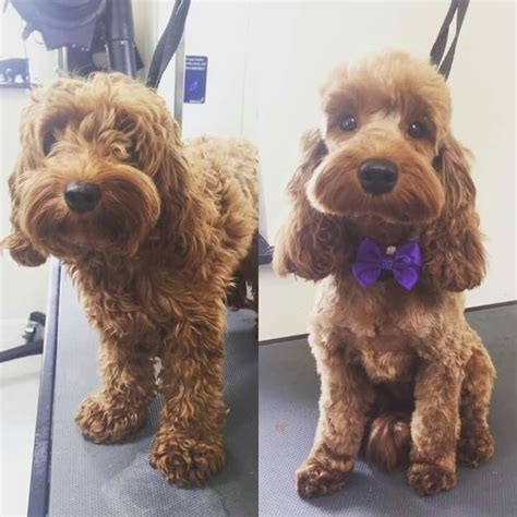 cockapoo haircuts before and after repinned before after dog grooming photos pet