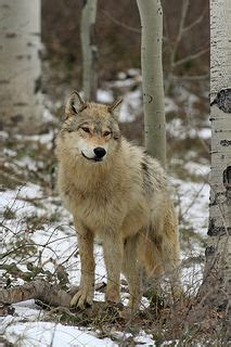 facts about coyote cubs apexwallpapers com 2345 best images about wolf on pinterest wolves alpha