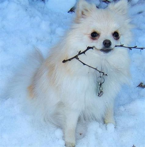 snow white pomeranian white pomeranian puppy holding a branche in the snow jpg