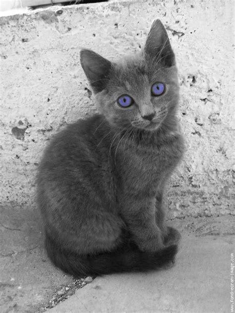 Chat aux yeux bleus - Chat Chaton Animal - Photo - Fond
