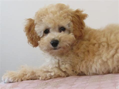 bichon frise puppies for sale in sc poodle mix is a miniature pinscher puppy for sale in loris sc