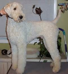winter airedale haircut poodle grooming style for the dogs pinterest toys