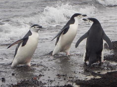 Traveller Pinguin south pole pictures traveller photos of south pole antarctica tripadvisor