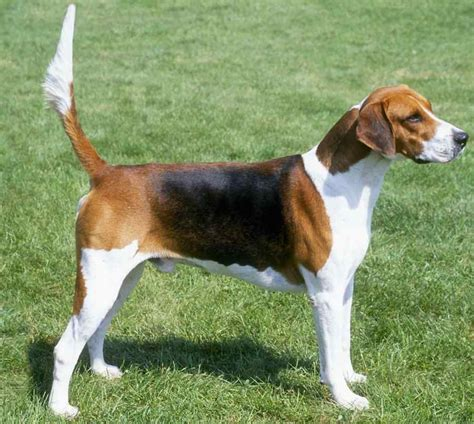 Foxhound Shedding by Small Mixed Breed Non Shedding Dogs Breeds Picture