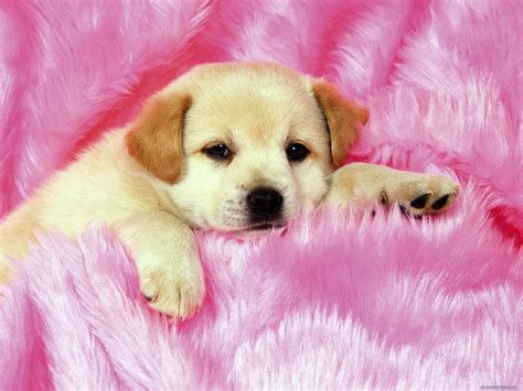 on a pink plaid animals dogs pink puppies 1600x1200 wallpapers photografies photo
