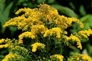 goldenrod weeds invasive but not cause of allergies