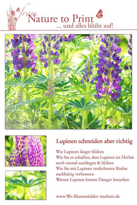 Lupinen Schneiden by Lupinen Schneiden F 252 R Mehr Bl 252 Ten Und Einen L 228 Ngeren Flor