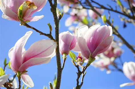 magnolia fiore foto magnolia bloesem bloemen 183 gratis foto op pixabay