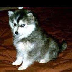 half husky half pomeranian puppies for sale pomsky puppies for sale half husky and half pomeranian makes a mini husky