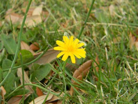 yellow weed flower by silverwolfie12 on deviantart