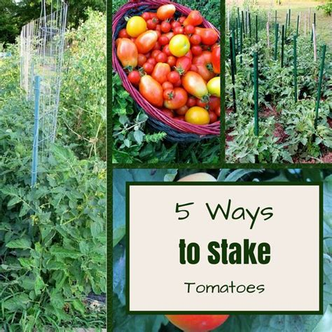 Patio Tomato Plant Care by 1000 Ideas About Staking Tomato Plants On