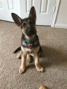 48 best images about german shepherd puppies with