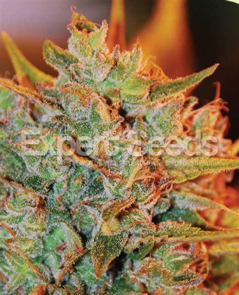 x strain seeds nl x big bud auto feminised cannabis seeds expert seeds