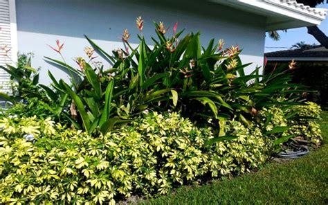 Landscape Supply Fort Myers Arboricola Trinette Shrub For Sale Fort Myers