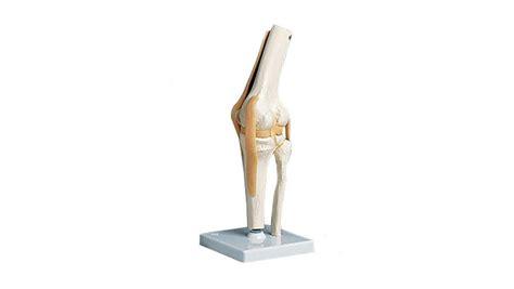 Functional Knee Model