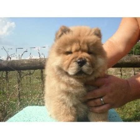chow chow puppies for sale in ohio glamar chows chow chow breeder in lucasville ohio