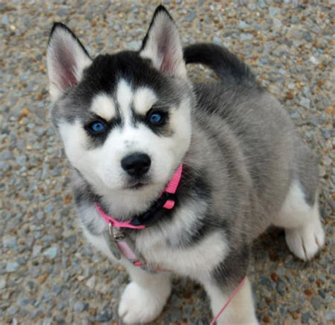 husky puppies for sale near me cheap pomeranian husky puppies siberian husky puppies cheap husky puppies breeds picture
