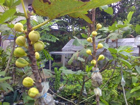 Jual Bibit Buah Tin Di Padang bibit tanaman buah unggul tamora unggul nursery bibit pohon buah tin medan