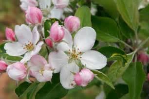 Apple Blossom State Flower - file apple blossoms jpg