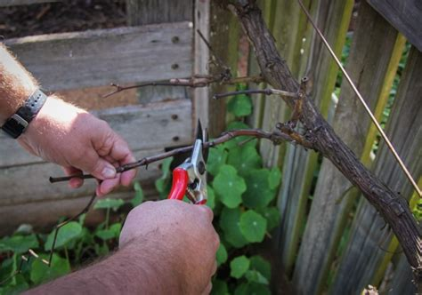 when to cut back a grapevine time to prune grape vines organic gardener magazine australia