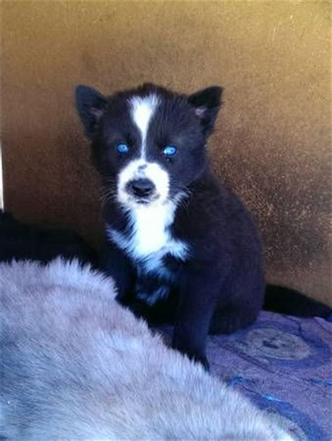 husky wolf mix puppies husky wolf mix puppy the cutest animals