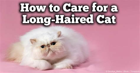 how to care for long hair long haired cat short hairstyle 2013