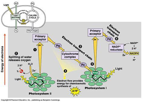 light reaction diagram biology form 6 light reaction